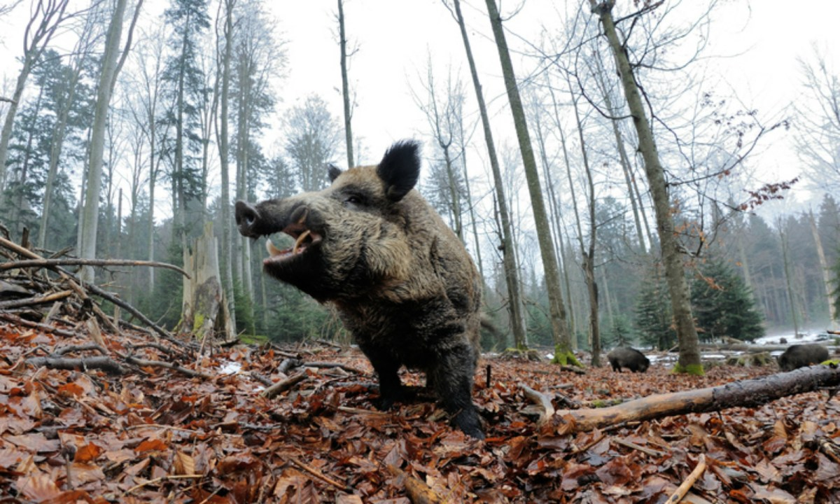 Boars started returning to the Italian countryside towards the end of WW1. Photo by iStock.