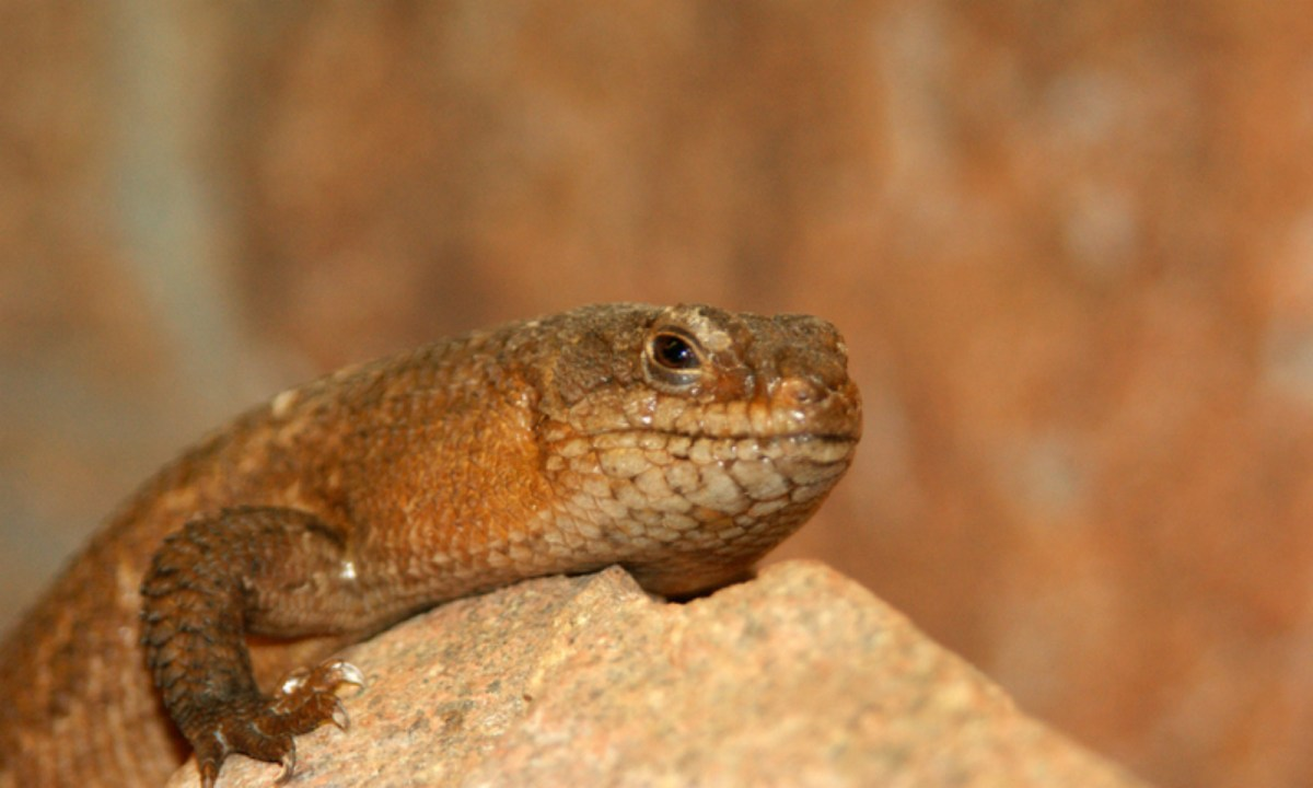 The gidgee skink is a popular pet. Photo by iStock.