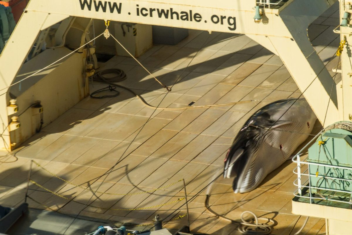 A minke whale onboard the Nisshin Maru, part of the Japanese whaling fleet, at sea in Antarctic waters on September 10, 2018. Photo: AFP/Sea Shepherd Global/Glenn Lockitch