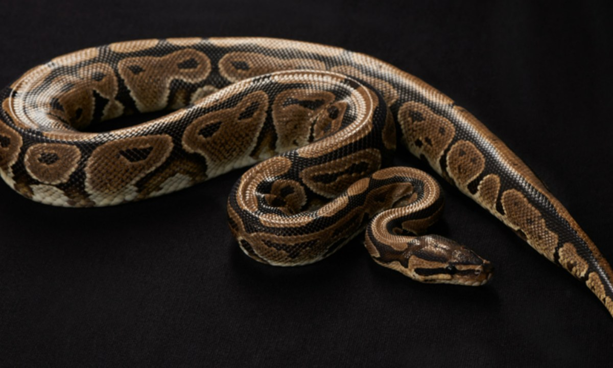 Domestic cats and dogs are fair game pythons, who see them as food. Photo by iStock.