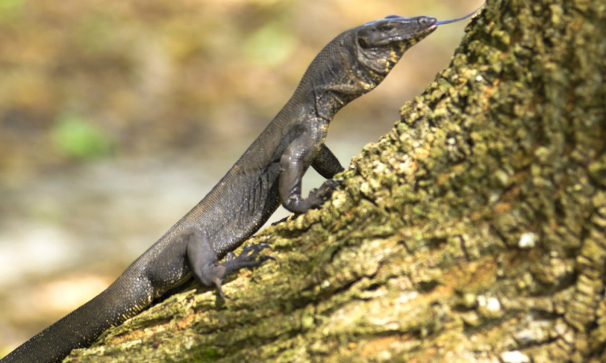 The Indian monitor lizard has been in demand in some parts by traders. Photo: iStock.