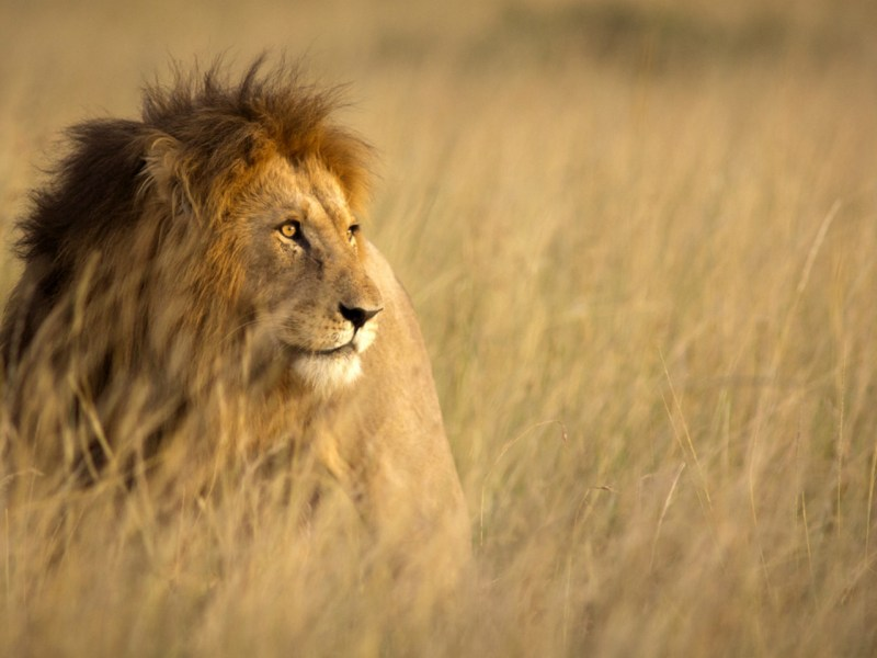The number of lions in Kenya is decreasing annually. Photo: iStock