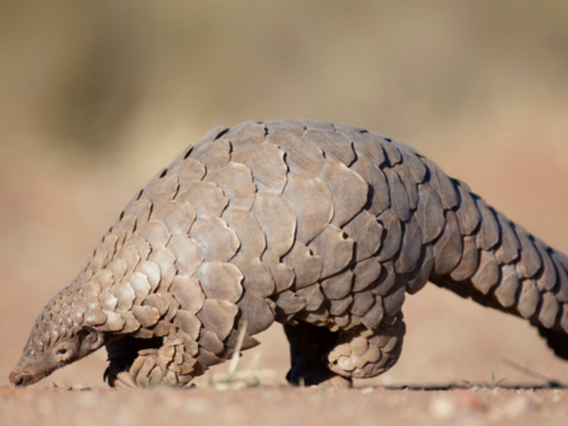 A pangolin, the most trafficked mammal in the world. Photo: iStock.