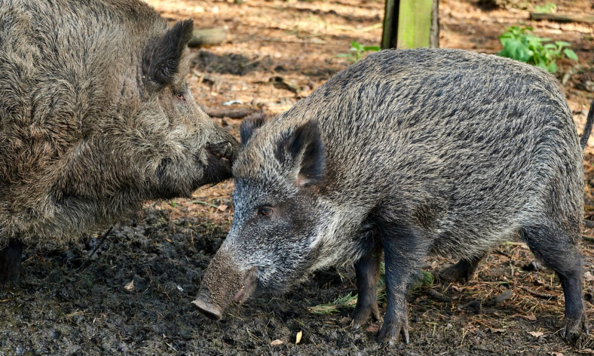 Many wild pigs carry diseases. Photo: iStock.