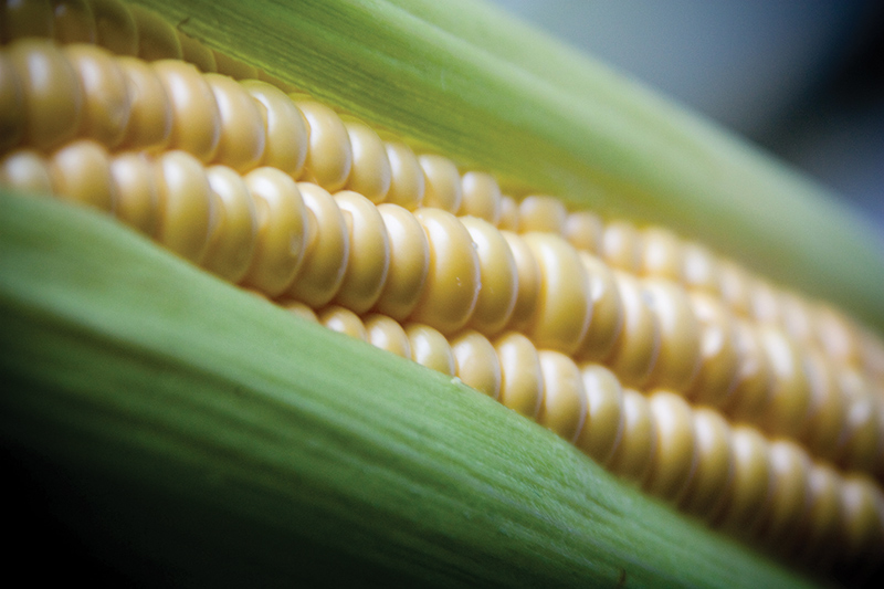 Nano-material extracted from sweet corn is non-toxic and editable. Photo: Handout