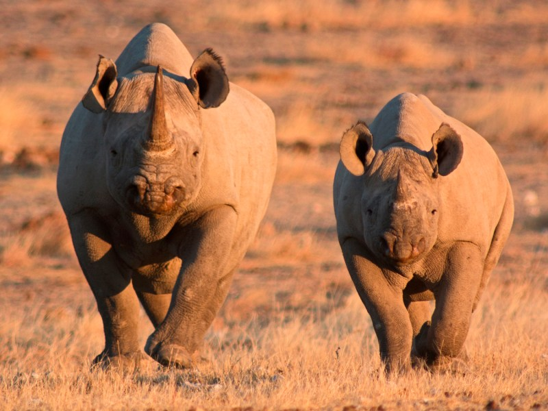 Just like rhinos in the wild, the corporate 'creatures' can charge at any moment, causing financial havoc. Photo: iStock