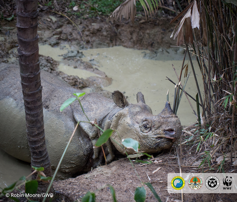 The rare Javan rhino, in Ujung Kulon National Park in west Java. Biologists believe they spend a lot of time in wallows and rivers to cool down and get rid of bugs and parasites. Photo: Robin Moore / Global Wildlife Conservation. A Javan Rhino in a mud wallow.