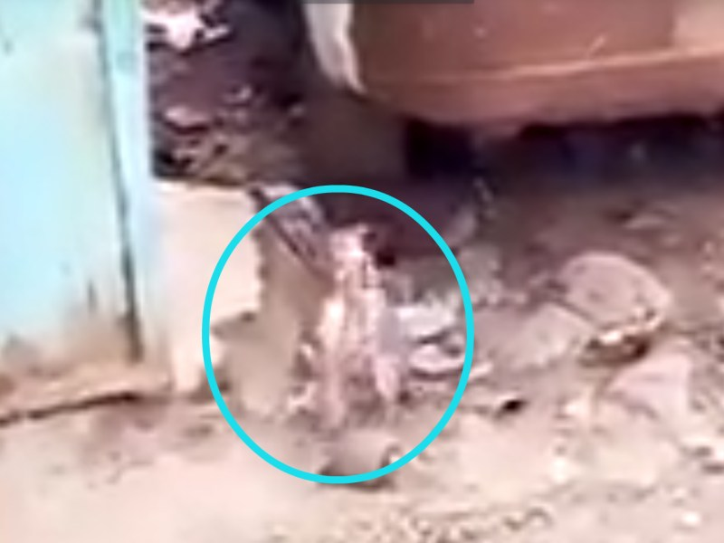 The two rats fighting. Photo: YouTube