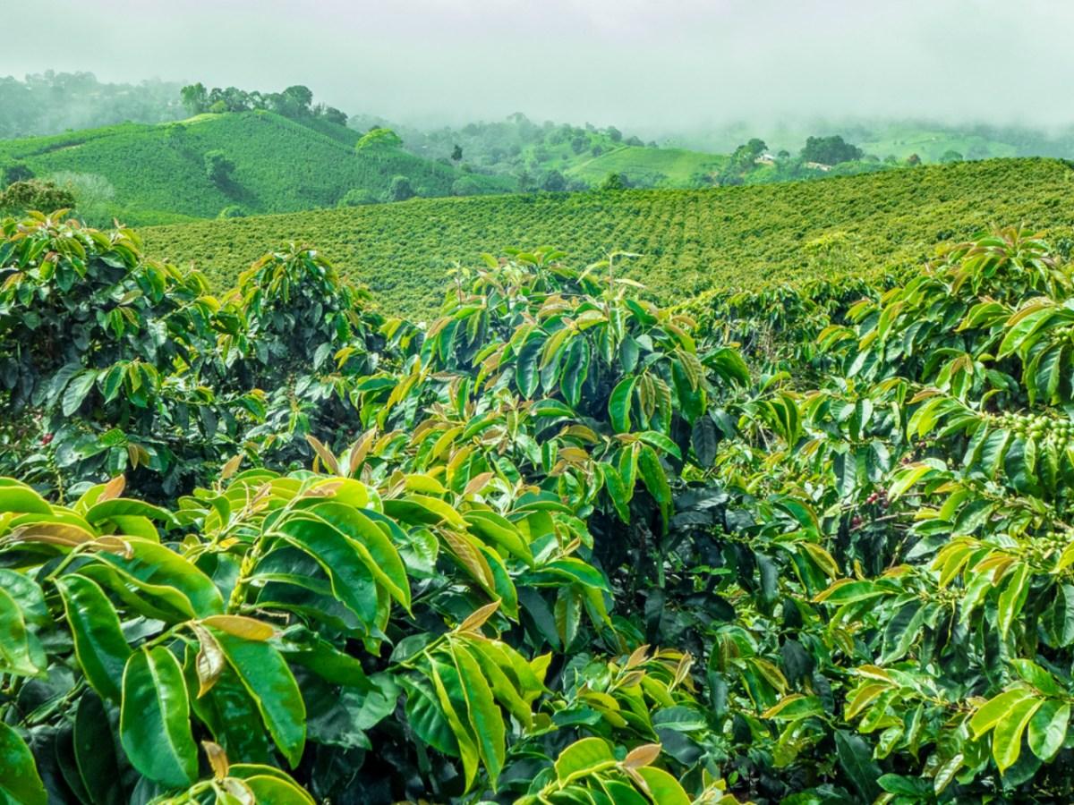 Coffee fields. Photo: iStock.