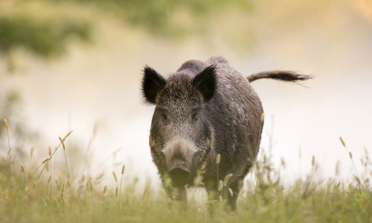 Hunting wild boars can be dangerous. Photo: iStock