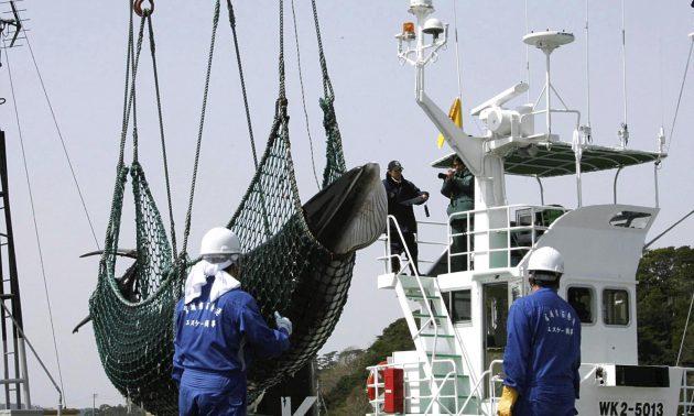 2008年4月,一條小鬚鯨從宮城縣石卷市的一艘「研究用途」捕鯨船上被秤起。日本即將恢復商業捕鯨活動並將退出國際捕鯨委員會。相片:Yomiuri Shimbun / AFP