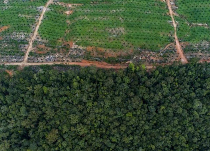在丹那美拉項目邊緣的油棕櫚樹。環保分子正呼籲立即停止這個龐大的項目。相片:Nanang Sujana for The Gecko Project