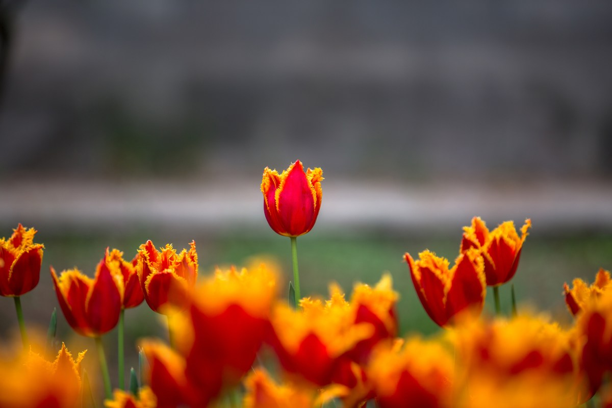 Before Bitcoin, the best-known speculative bubble was the tulip mania that gripped the Netherlands in the early 17th century. Tulip bulbs soared to about US35,000 each, in today's money, before their price collapsed to zero.  Photo: iStock