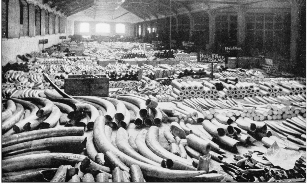 An old photo depicting ivory tusks poached from elephants. Photo: iStock.