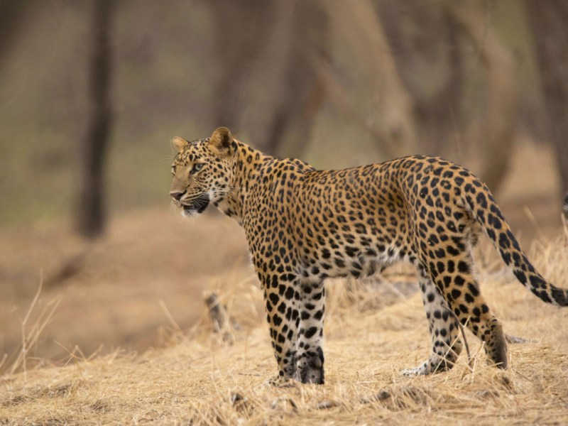 A leopard similar to the one that killed two people. Photo: iStock.