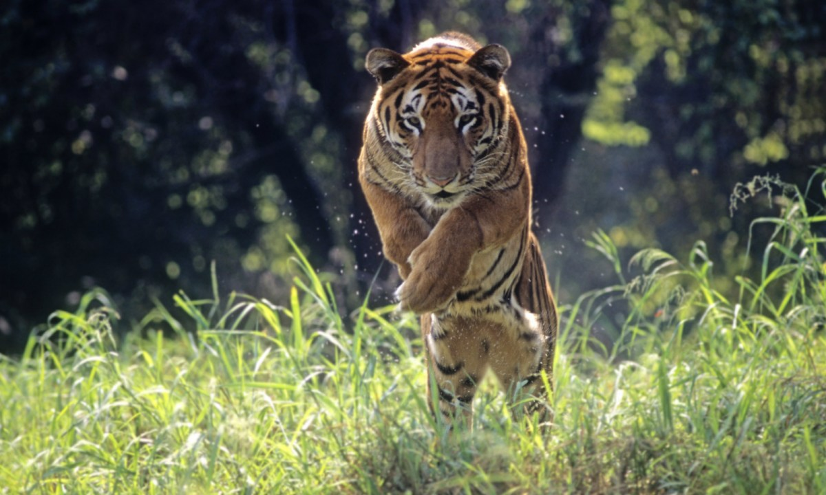 A wild tiger in India. Photo: iStock
