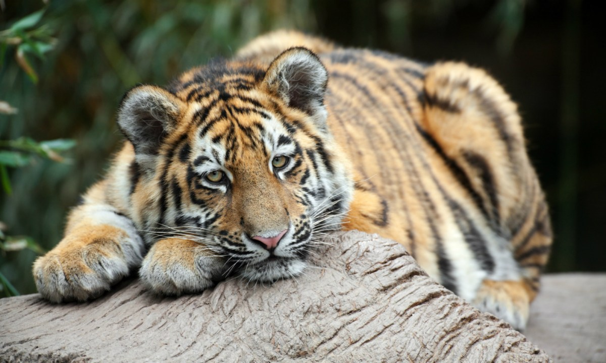 There are only 40 to 50 wild tigers left in China. Photo: iStock