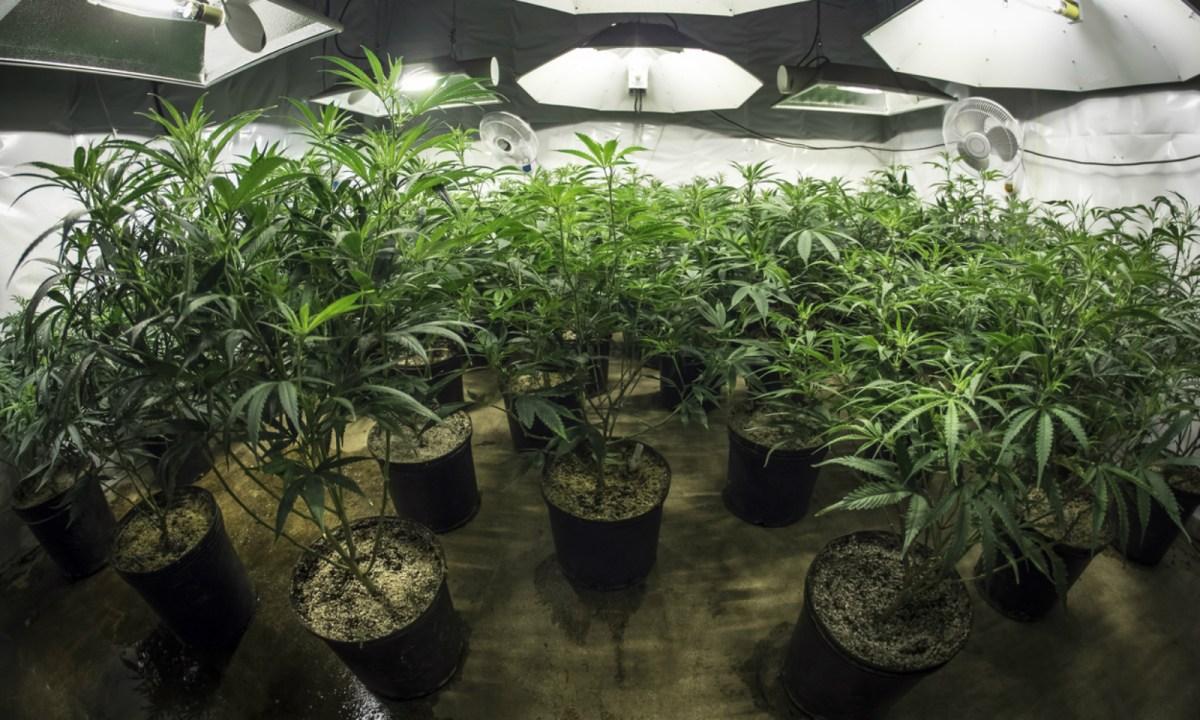 An indoor cannabis farm. Photo: iStock.