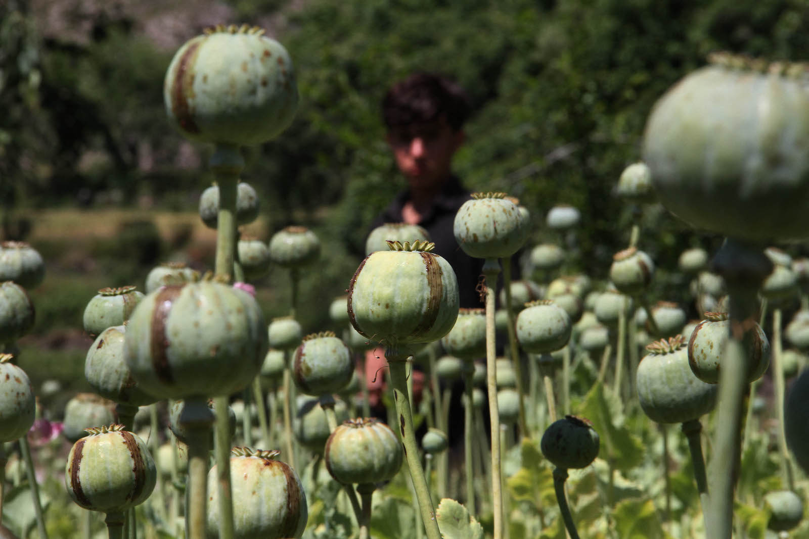 An Afghan farmer harvests opium sap from a poppy field in Dara-l-Nur, District of Nangarhar province, in 2020. Photo: AFP / Wali Sabawoon / NurPhoto
