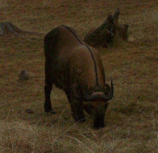What To Do In Bhutan - See Bhutan National Animal - Takin, front view from afar