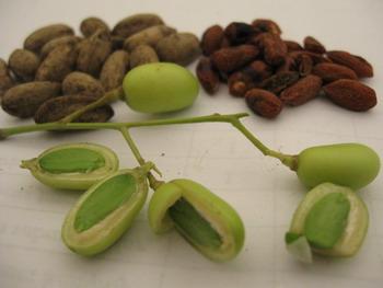 buah dan biji neem/mimba