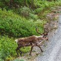 Caribou Wildlife Sightings and Photography Denali National Park