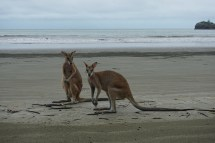 Wallabys - Cape Hillsborough