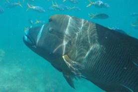 Napoleon-Lippfisch - Whitsunday Islands