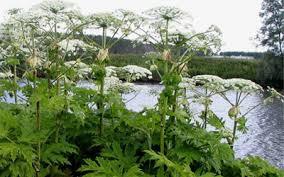 Вех ядовитый растения для водоемов