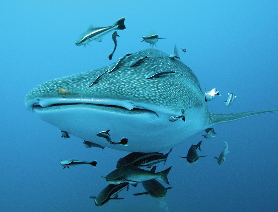 tiburon_ballena