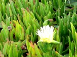santa cruz flower1