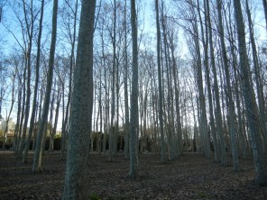 ... but like so much of europe - its just a copse of trees planted in rows.