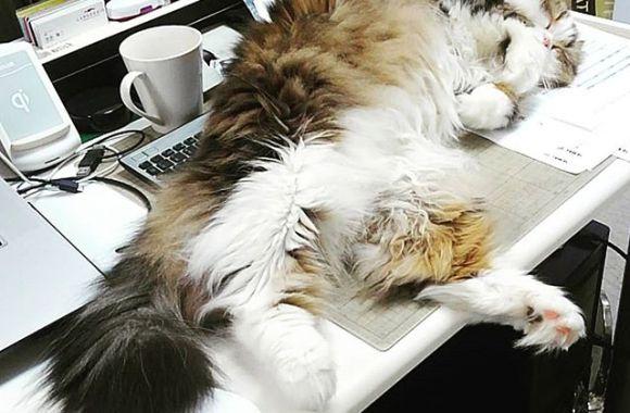 ギリギリ…邪魔。トラックボールのマウスだと即死なデスク#office #cat