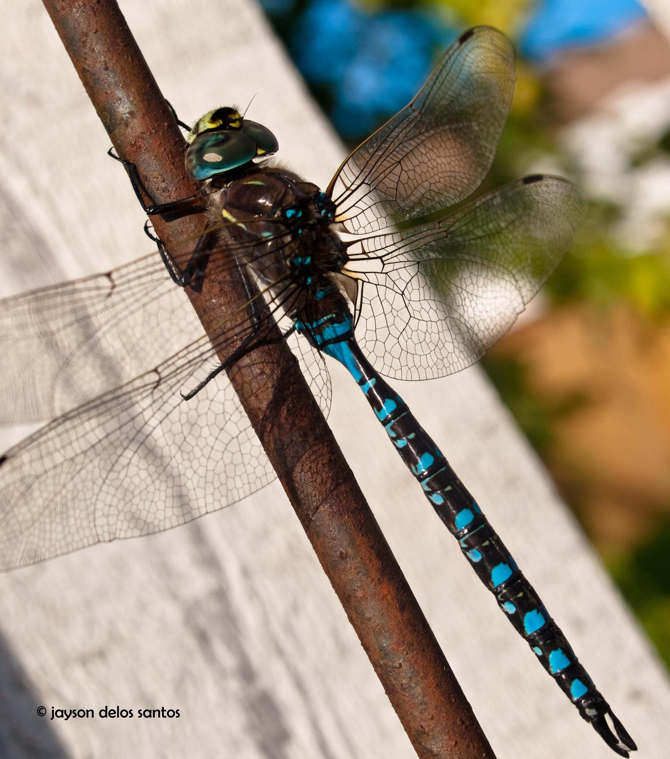 dragonfly01