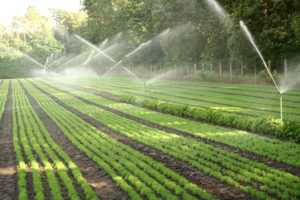 Lettuce irrigation