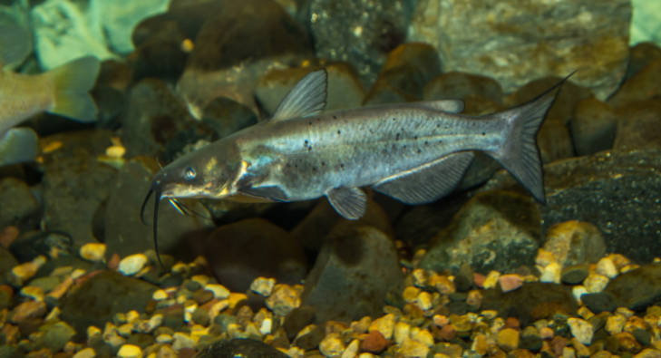 channel catfish photo courtesy of USFW