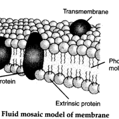 Diagram Of Fluid Mosaic Model Cell Membrane Thermoelectric Generator Who Proposed The Plasma Cbse Class There Are Certain Specific Proteins Called Receptors Which Mediate Flow Materials And Information Into