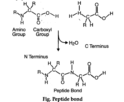 How are amino acids bonded together ? Describe how these