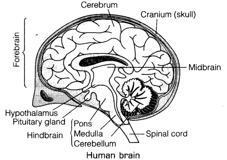 . Draw a well labeled diagram of the human brain and
