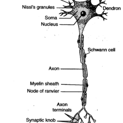 Detailed Neuron Diagram 3 Way Light Switch Wiring Nz Describe The Microscopic Structure Of A Also Draw Its Png431 516 27 4 Kb