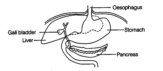 The diagram shows part of the human alimentary canal