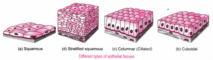 stratified columnar epithelium diagram 1994 toyota camry engine describe the structure and function of different types epithelial simple squamous they are present in cells lining blood vessels or lung alveoli where transportation substances occurs through a selectively
