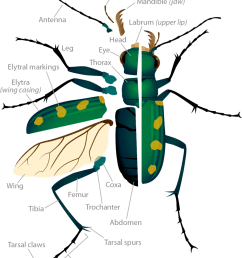 tiger beetle anatomy pop up image [ 1005 x 1200 Pixel ]