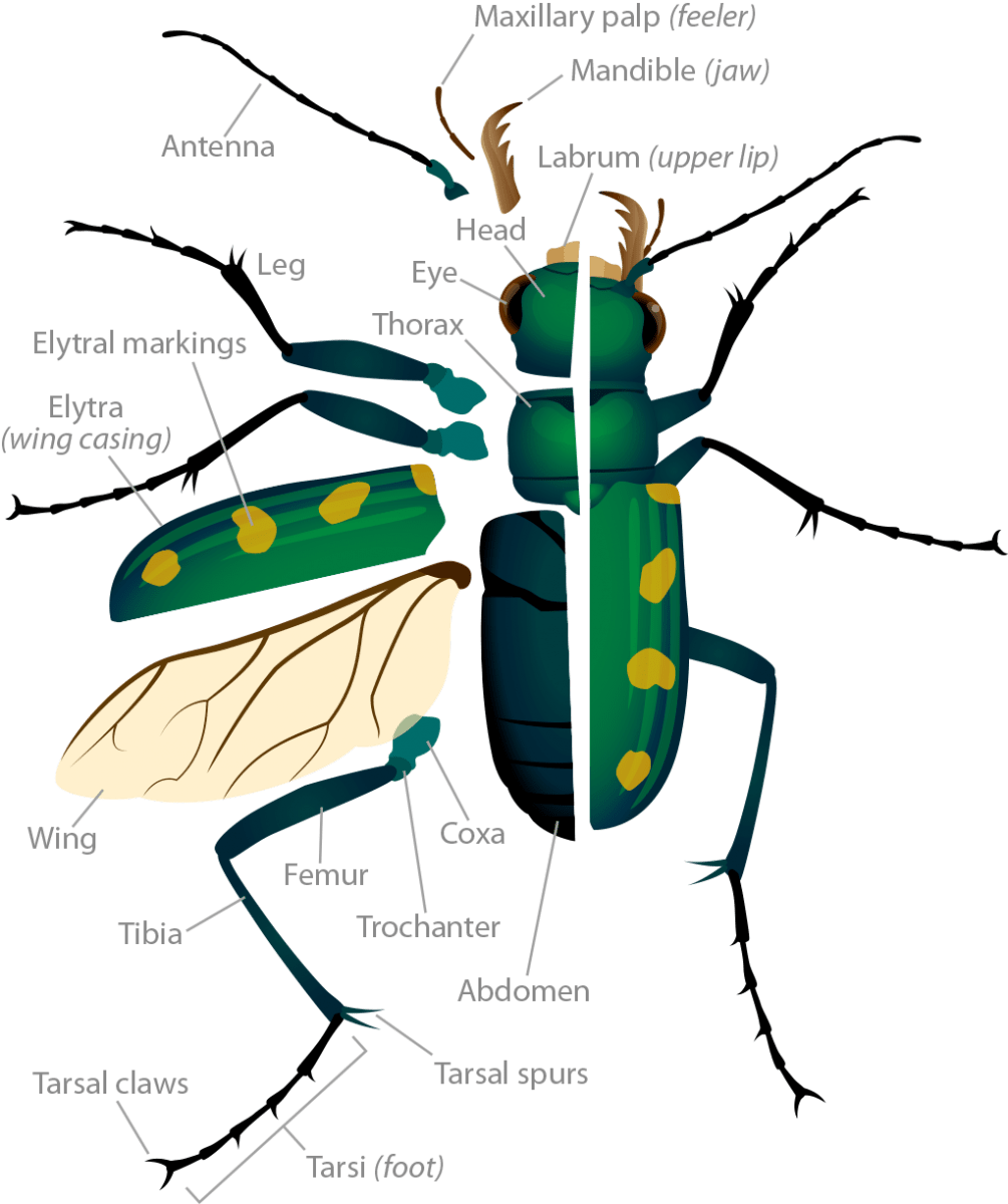 hight resolution of tiger beetle anatomy pop up image