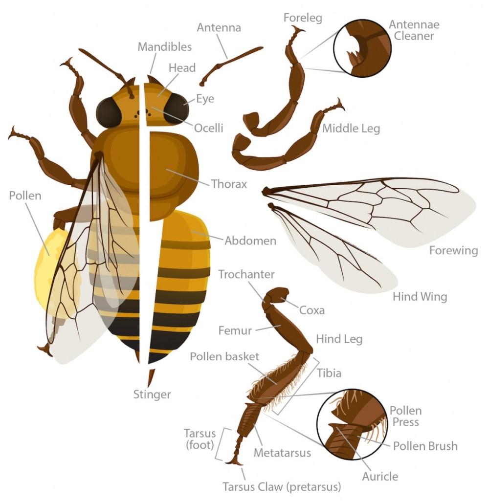 medium resolution of honey bee anatomy labeled illustration