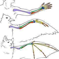 Duck Skeleton Diagram L322 Air Suspension Wiring Comparaison Des Os De Chauve-souris | Ask A Biologist