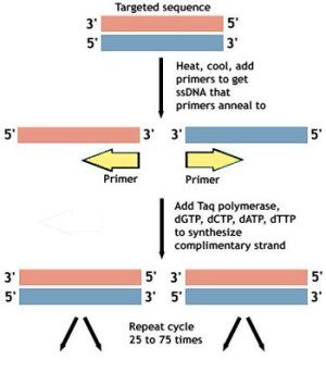 PCR  Amplifying DNA | Ask A Biologist