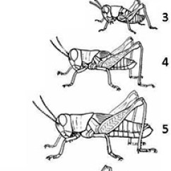 Cricket Life Cycle Diagram Sets And Venn Diagrams Powerpoint Incomplete Metamorphosis Ask A Biologist Grasshopper