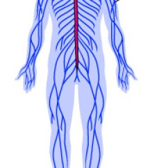 Blank Spine Diagram Chevy 350 Wiring To Distributor Nervous System Functions And Parts | Ask A Biologist