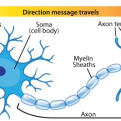 Labelled Diagram Of Nerve Cell 2003 Mazda Tribute Exhaust System Neuron Types Ask A Biologist Anatomy